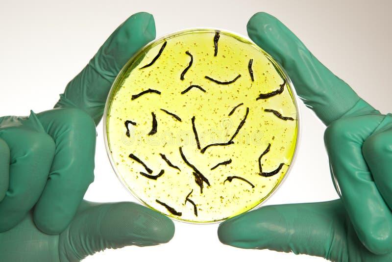 Boîte de Pétri avec des cellules de virus images libres de droits