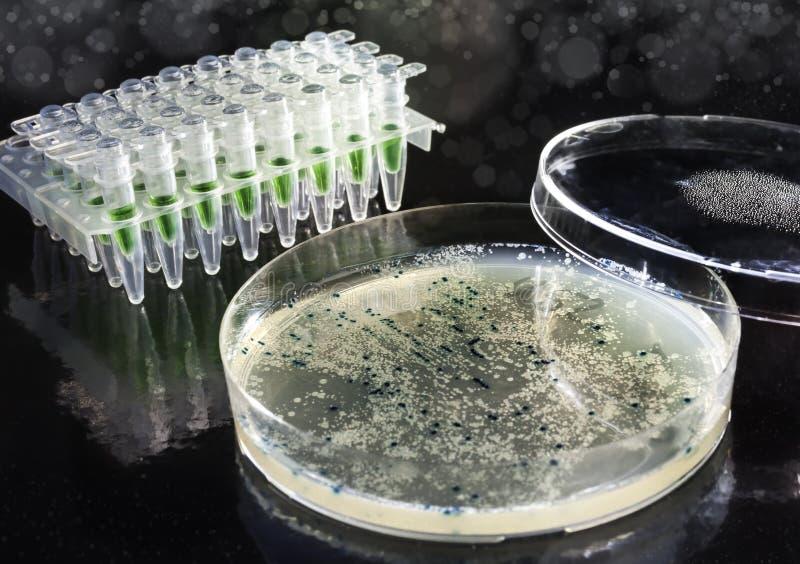 Boîte de Pétri Avec les colonies bactériennes sur l'agar-agar image stock