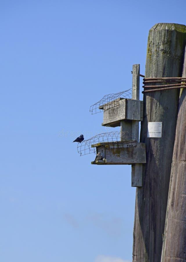 Boîtes nesing pourpres occidentales de Martin, Royston Vancouver Island photos stock