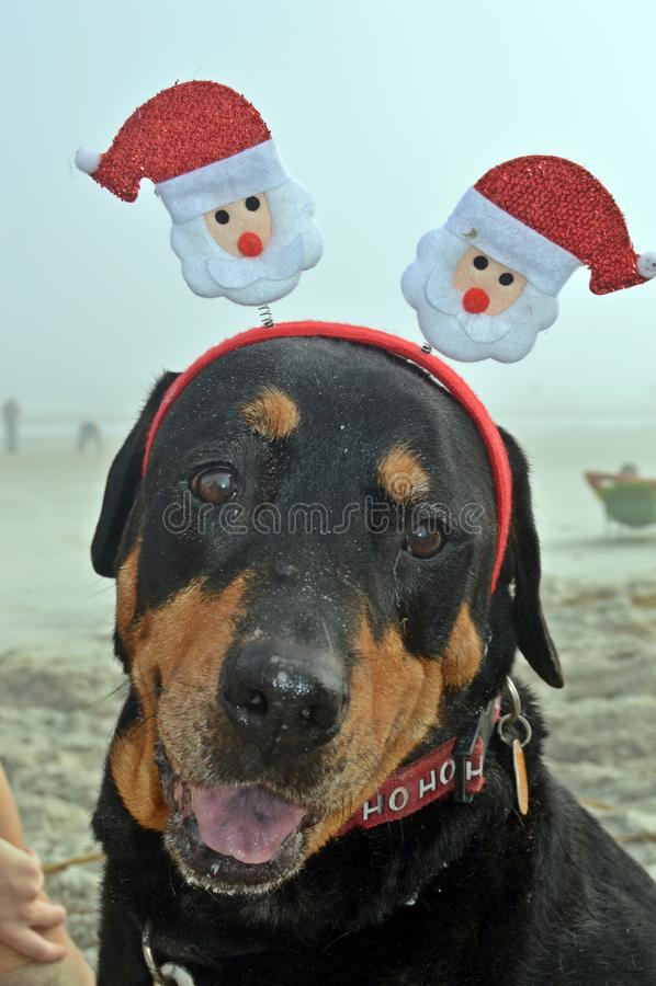 Boże Narodzenia ratują Rottweiler na plaży obraz royalty free
