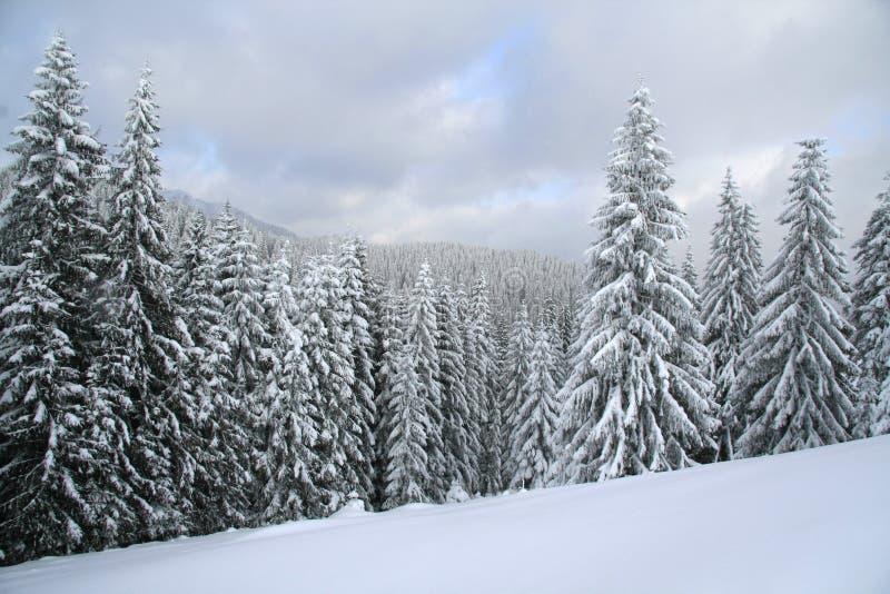 boże narodzenia zakrywająca lasu śniegu świerczyna fotografia stock