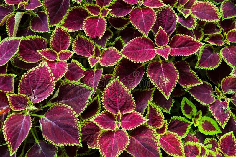 Boże Narodzenie kwiaty, poinsecje z zielenią i brązów liście dla tła, zdjęcie stock