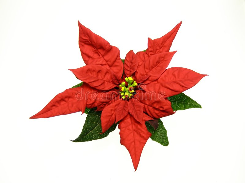 boże narodzenie poinsecje czerwone kwiaty zdjęcie stock