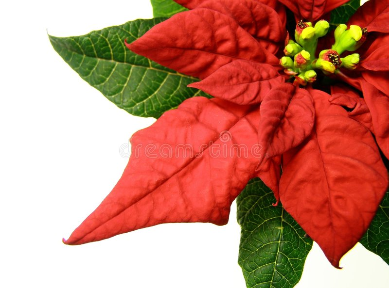 boże narodzenie poinsecje czerwone kwiaty obraz royalty free