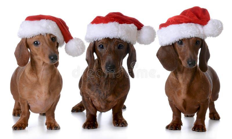 Boże Narodzenie psy fotografia stock