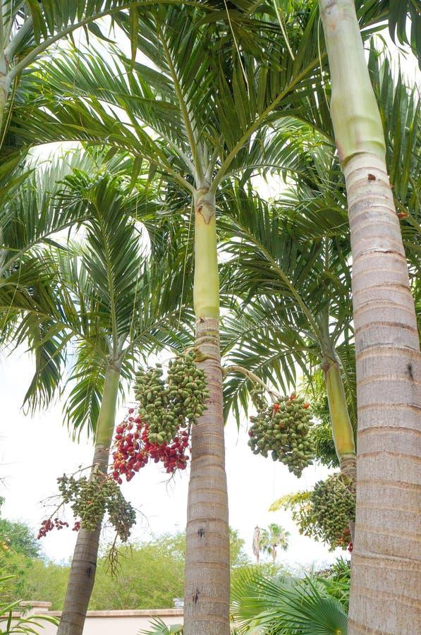 Bożenarodzeniowa palma lub Manila palma zdjęcia royalty free