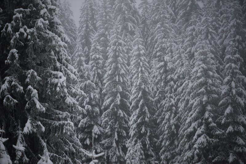 Bożenarodzeniowa wiecznozielona sosna zakrywająca z świeżym śniegiem obraz royalty free