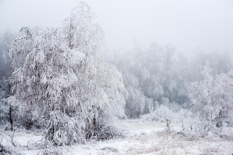 Bożenarodzeniowej tajemniczej zimy śnieżny las w mgle, zdjęcie royalty free