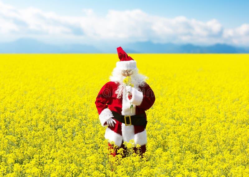Bożenarodzeniowy Święty Mikołaj obwąchuje kwiaty w kwitnącym koloru żółtego polu obraz stock