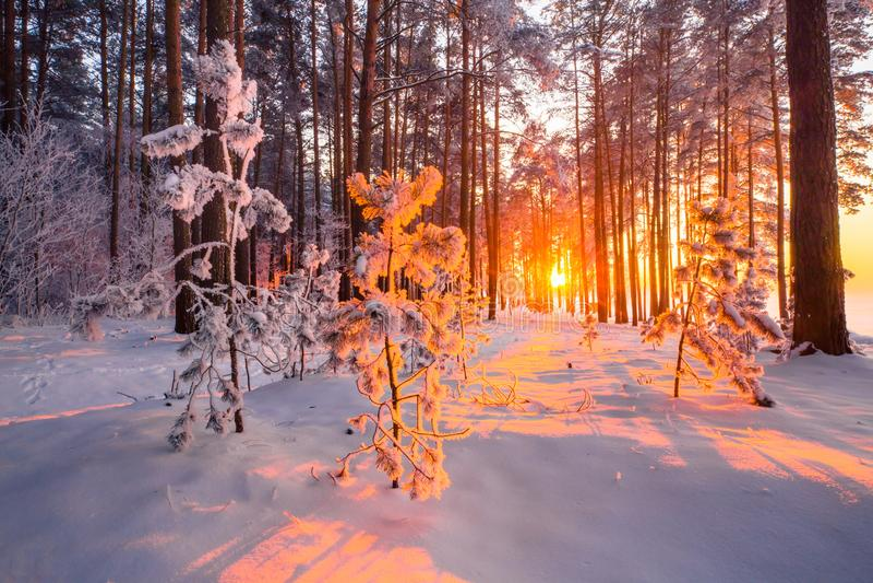 Bożenarodzeniowy światło słoneczne w lasowych Jedlinowych drzewach zakrywających z mrozem z wieczór światłem słonecznym w lasowym zdjęcie stock