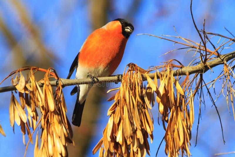 Bożenarodzeniowy czerwony ptak na gałąź obraz royalty free