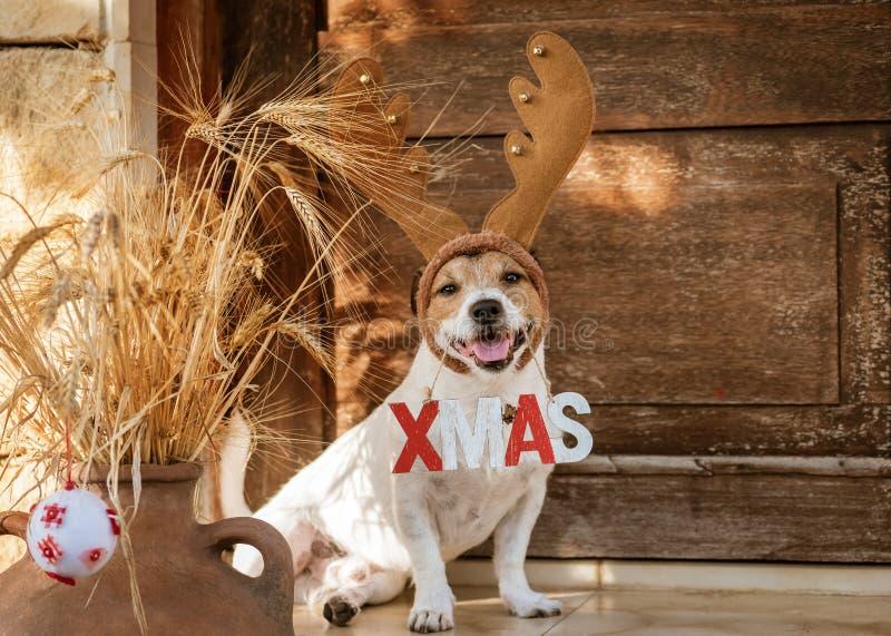 Bożenarodzeniowy pojęcie z psimi jest ubranym reniferowymi poroże trzyma «Xmas znaka fotografia stock