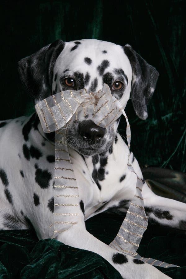 bożych narodzeń dalmatian prezent fotografia stock