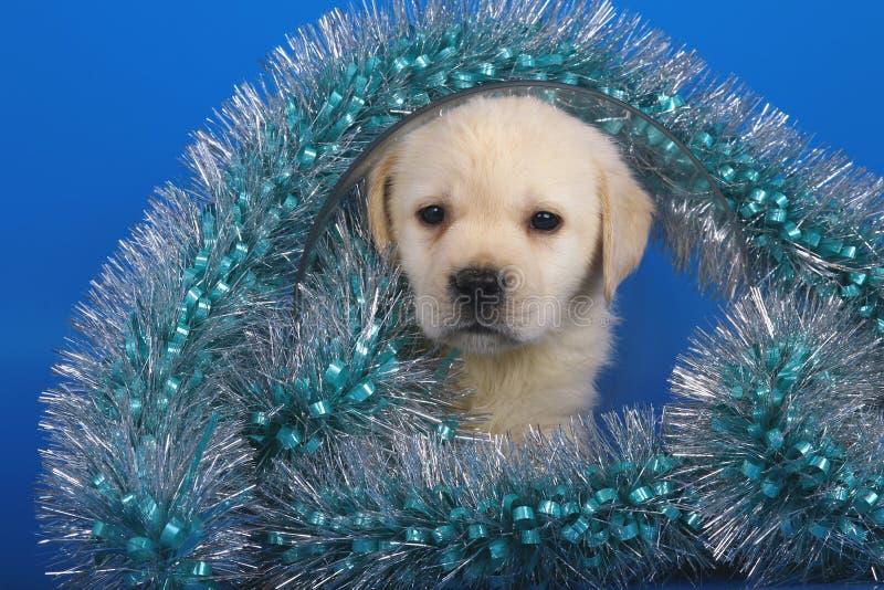 bożych narodzeń labradora szczeniaka świecidełko zdjęcie stock