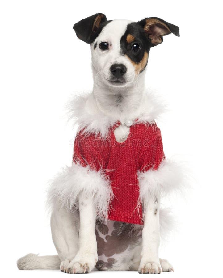 bożych narodzeń pies ubierająca stroju czerwień obraz stock