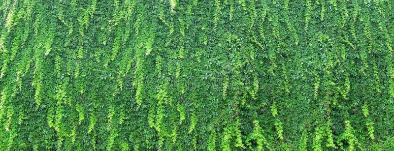 Bo den gröna väggen i trädgården - som är bevuxen med murgrönan royaltyfri foto