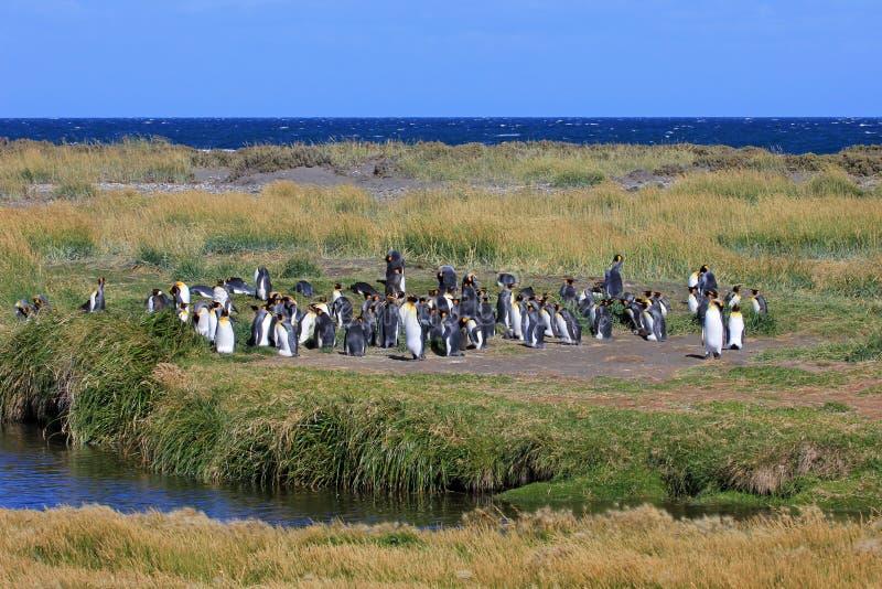 Bo för konungpingvin som är löst på Parque Pinguino Rey, Patagonia, Chile royaltyfria bilder