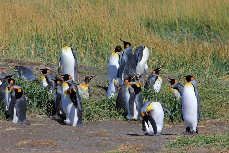 Bo för konungpingvin som är löst på Parque Pinguino Rey, Patagonia, Chile fotografering för bildbyråer