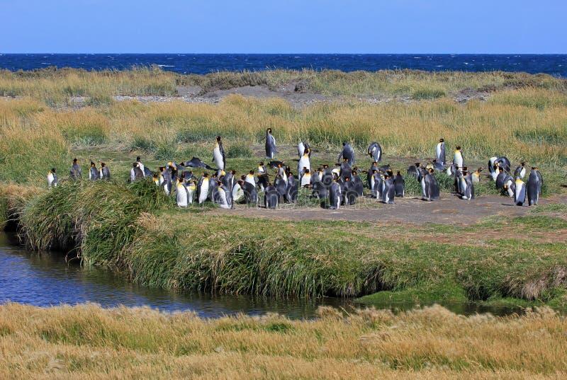 Bo för konungpingvin som är löst på Parque Pinguino Rey, Patagonia, Chile arkivbild