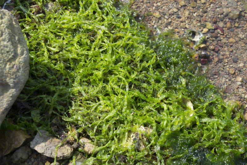 Bo havsväxt eller alger på kust royaltyfri fotografi
