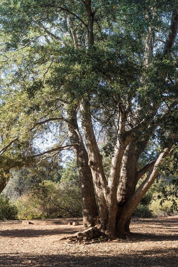 Bo kusteken, den högväxta sunda kust- vintergröna eken, skog i sydliga Kalifornien, lodlinje arkivfoto