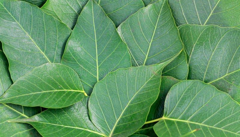 Bo leaf stock photos