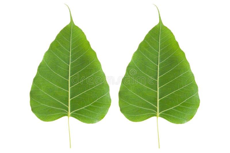 Download A BO verde folheia foto de stock. Imagem de beleza, pattern - 29833872