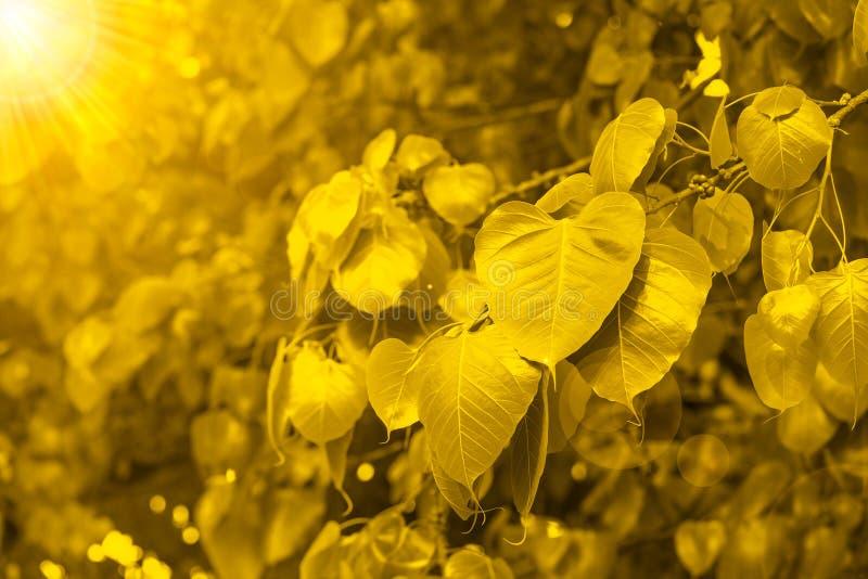 BO verlaat goud met het beeld van Boedha, Gouden Blad, Bodhi-Boom met heldere zon, macht van Boedha stock fotografie