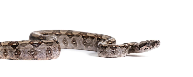 Boa comune, boa constrictor, contro fondo bianco fotografia stock libera da diritti