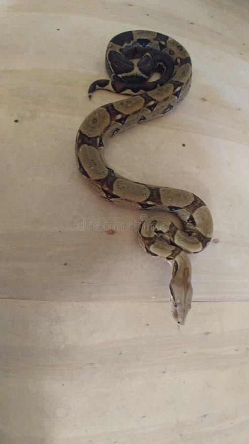 Boa Constrictor zdjęcia royalty free