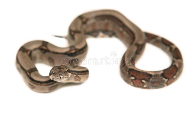 Boa constrictor stockfotos