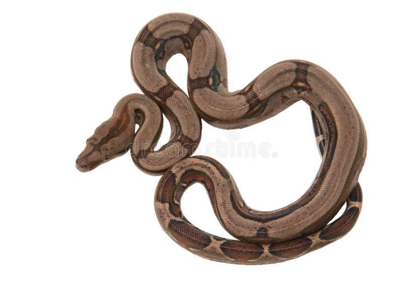 boa constrictor obraz royalty free