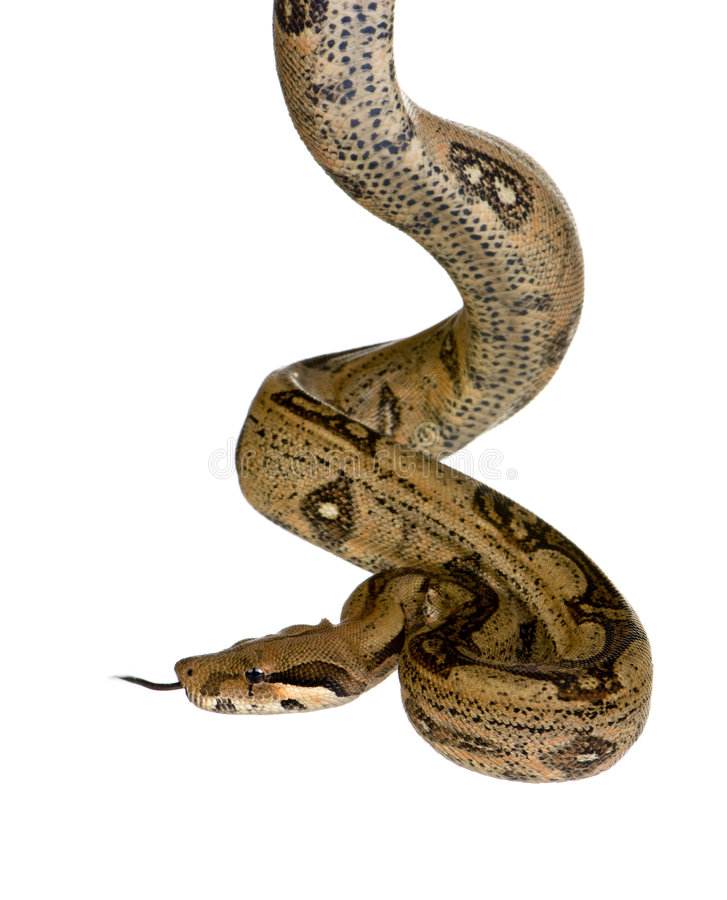 boa constrictor obrazy royalty free