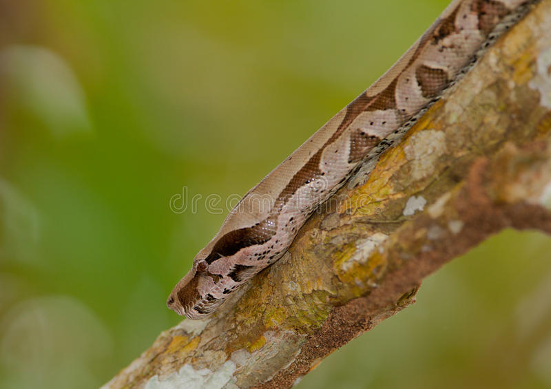 Download Boa Constrictor On A Branch Stock Image - Image of giant, color: 26445681