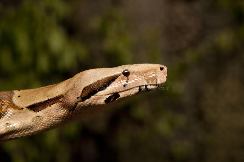 315 Albino Boa Constrictor Photos Free Royalty Free Stock Photos From Dreamstime