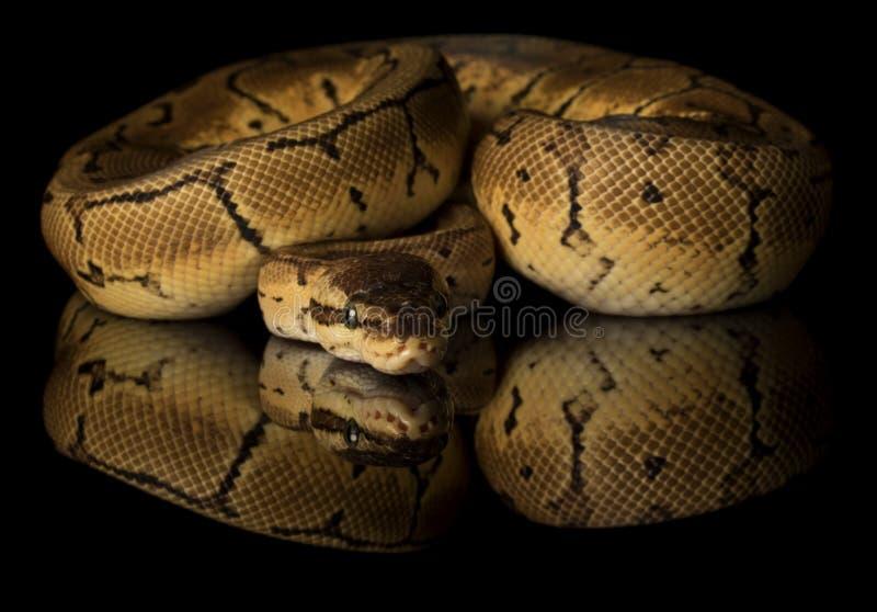 Boa constrictor comune - fotografia dello studio fotografia stock libera da diritti