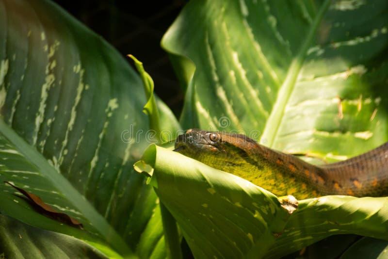 Boa constrictor enorme sulle foglie immagini stock libere da diritti
