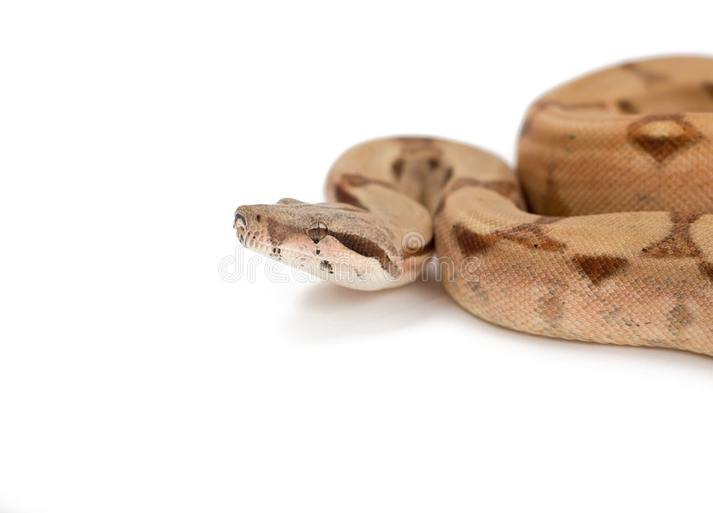 Download Boa Constrictor Isolated On White Stock Image - Image: 4802159