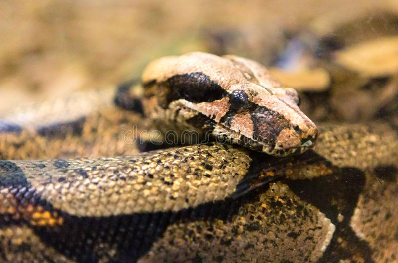 Boa Constrictor Snake Jiboia In Close Up  Stock Photo