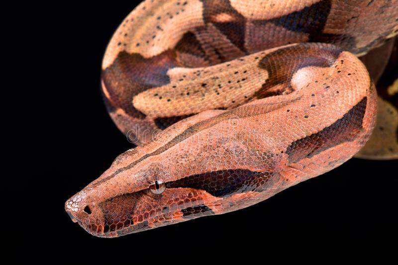 Boa constrictor Boa constrictor constrictor. The Boa constrictor Boa constrictor constrictor is one of the largest snake species in the world. These feared royalty free stock image
