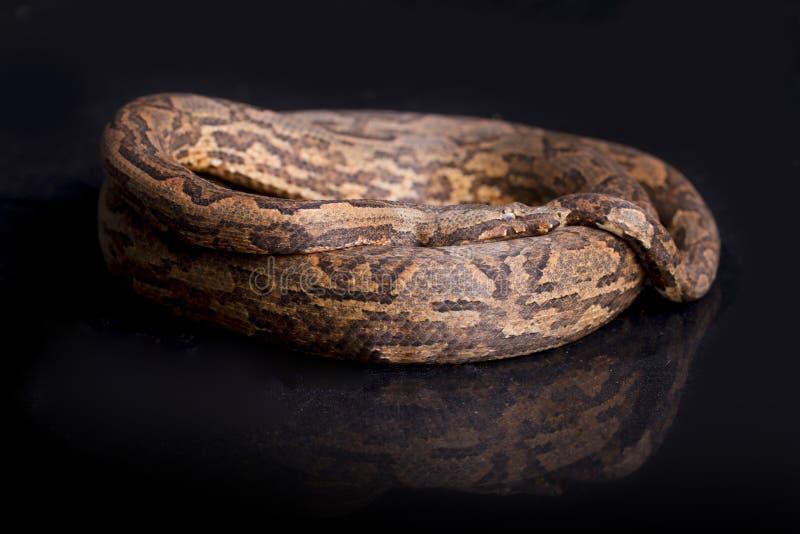 Boa d'arbre de la Nouvelle-Guinée, carinata de carinata de Candoia image libre de droits