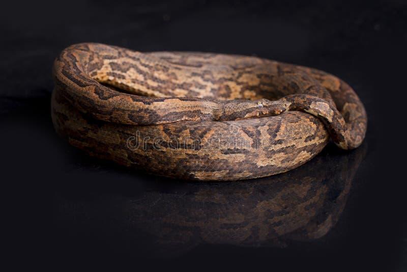 Boa del árbol de Nueva Guinea, carinata del carinata de Candoia imagen de archivo