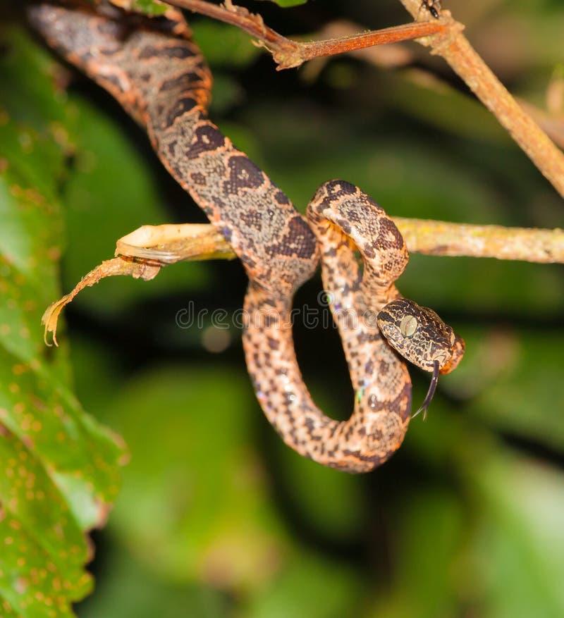 Boa juvenil del árbol del Amazonas imagenes de archivo
