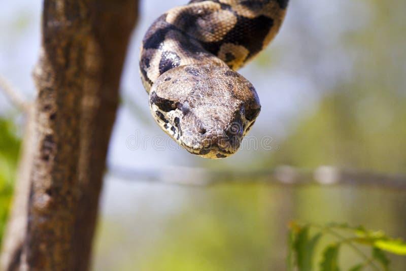 Boa malgache o de Madagascar del árbol fotos de archivo