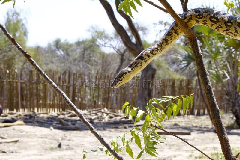 Boa malgache o de Madagascar del árbol fotografía de archivo