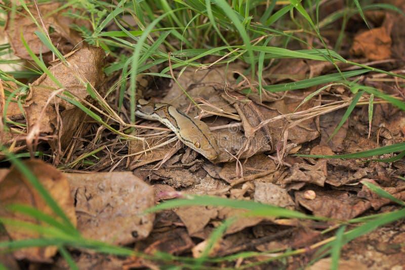 Boa-Schlange im Gras, Boa- constrictorschlange auf Baumast lizenzfreies stockbild