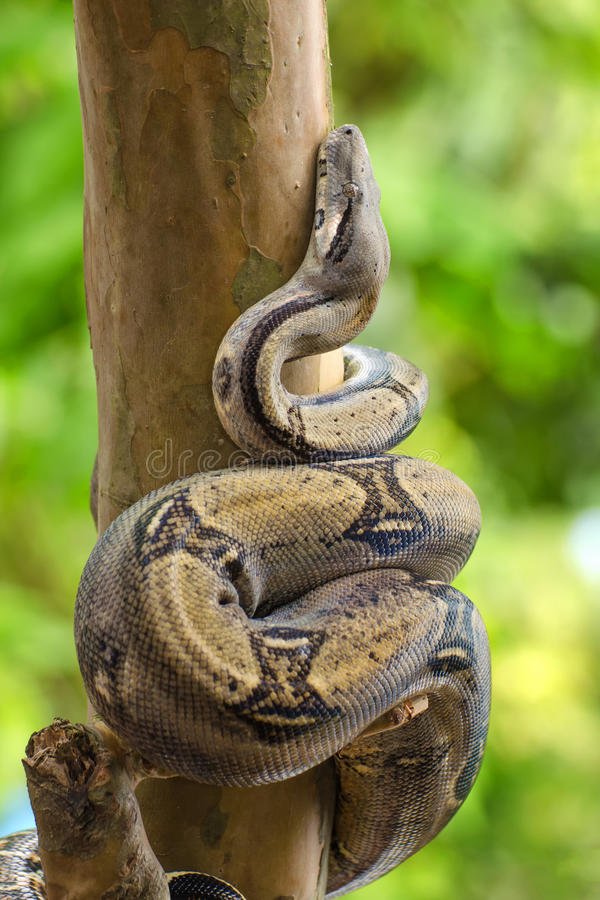 Boa snake. The boa constrictor Boa constrictor, also called red-tailed boa, is a species of large, heavy-bodied snake stock photography