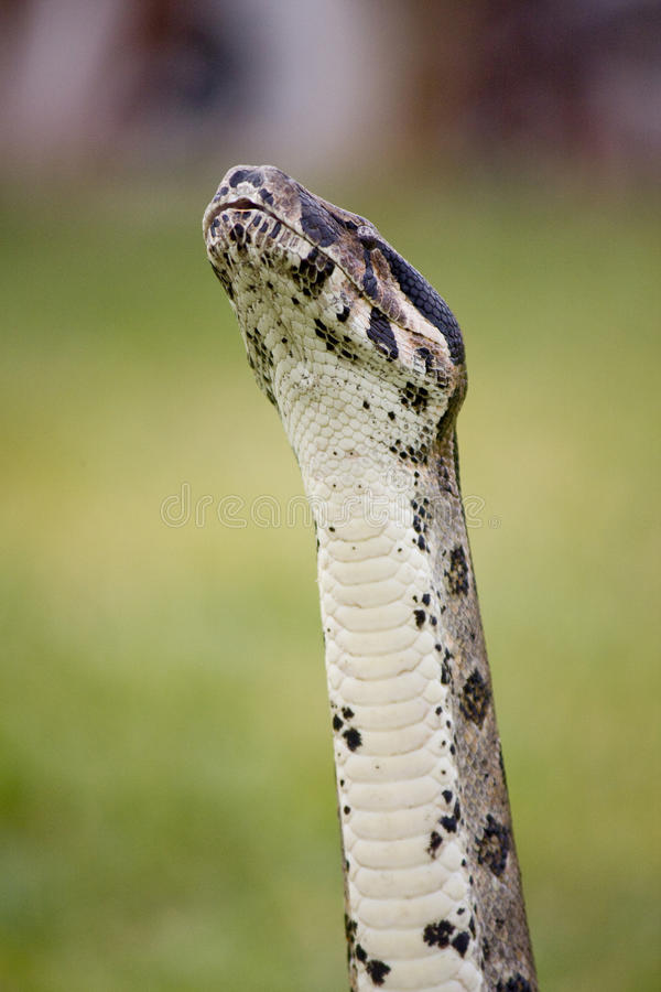 Download Boa sniff stock photo. Image of tongue, crawler, serpent - 12285314