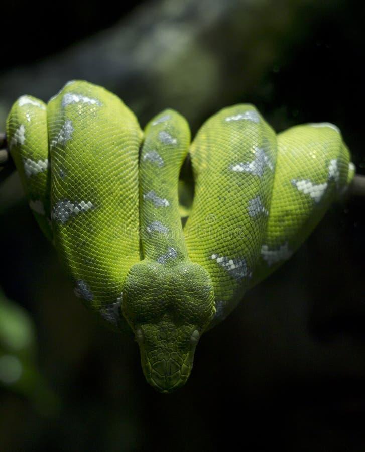 Boa verde smeraldo dell'albero fotografie stock