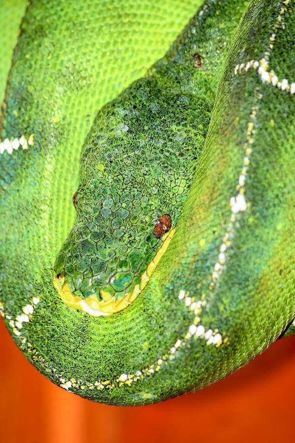 Boa verde smeraldo dell'albero del bacino di Amazon fotografia stock libera da diritti